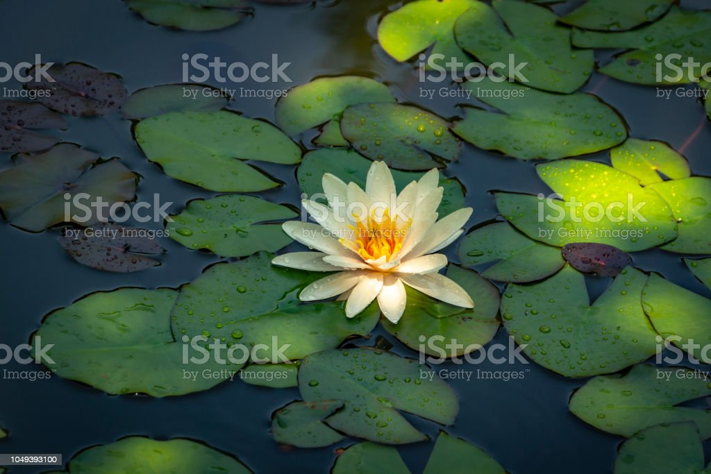 White Water Lily Marliacea Rosea Or Lotus Flower Nymphaea In A Pond