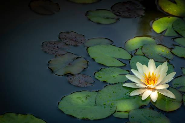 weiße seerose marliacea rosea oder lotus-blume. nymphaea in einem teich auf einem hintergrund von dunkelgrünen blätter. sie sind mit wasser bedeckt. - wasserlilien stock-fotos und bilder