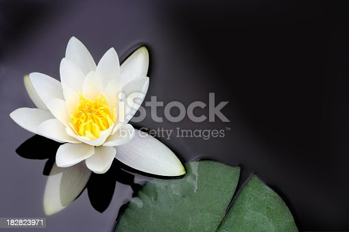White water lily floating in a pond. Other images in: