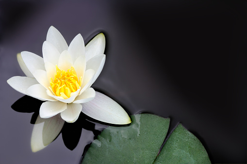 bright lotus flower blooming on dark background, purple toned process