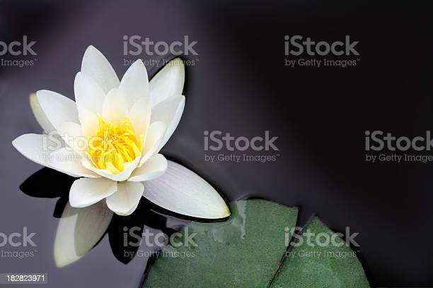 Photo of White water lily Nymphaea alba floating in a pond