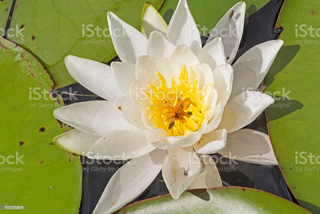 White Water Lily on a North Woods Lake stock photo