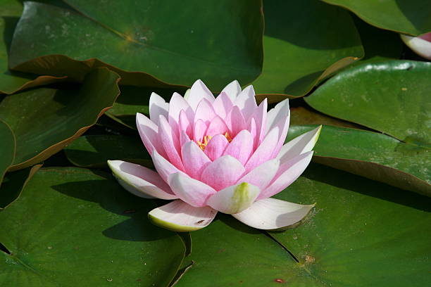 White Water Lily Floral Park, Vincennes, Paris, France victoria water lily stock pictures, royalty-free photos & images