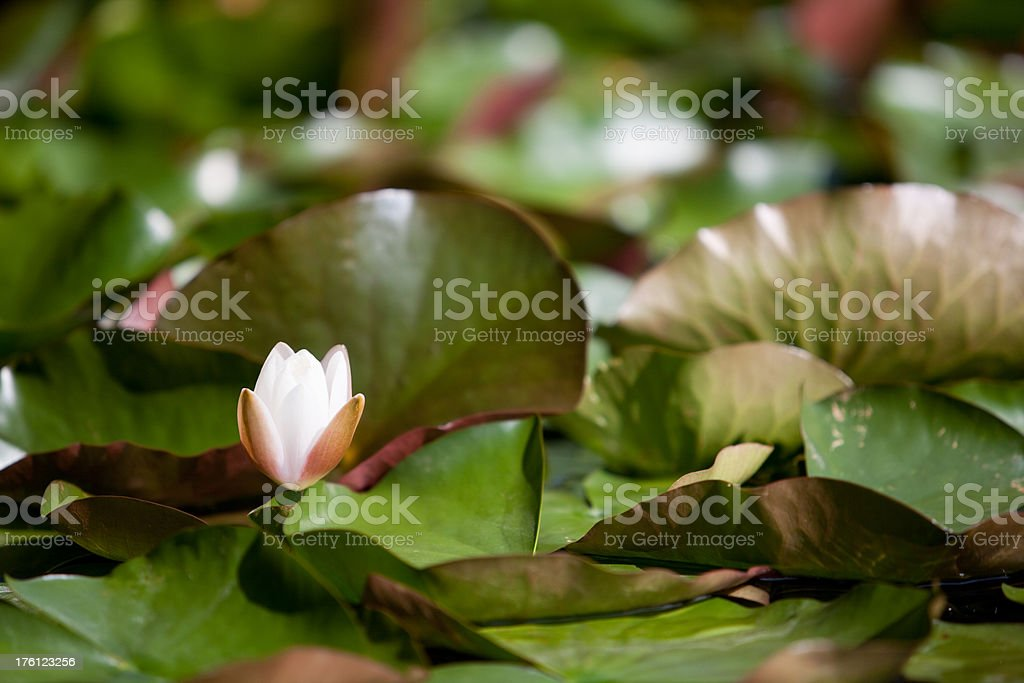 White water lily Green leafs with white water lily. Beauty In Nature Stock Photo