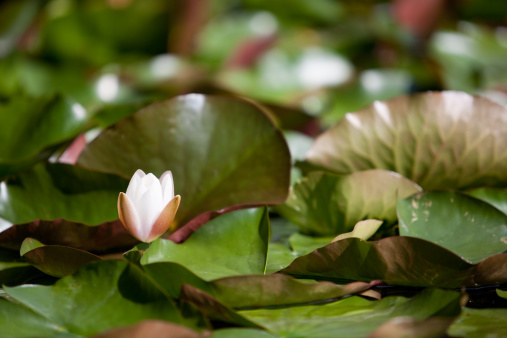 White Water Lily Stock Photo - Download Image Now
