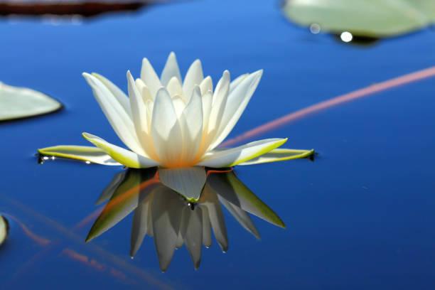 white water lily  - wasserlilien stock-fotos und bilder