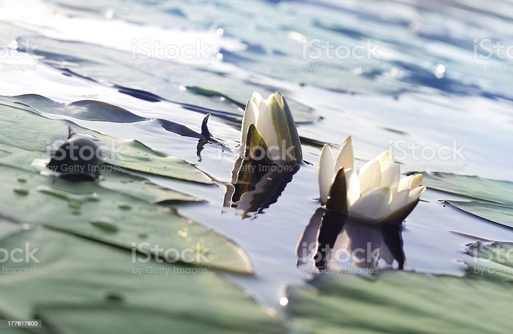 White water lily with a snail royalty-free stock photo