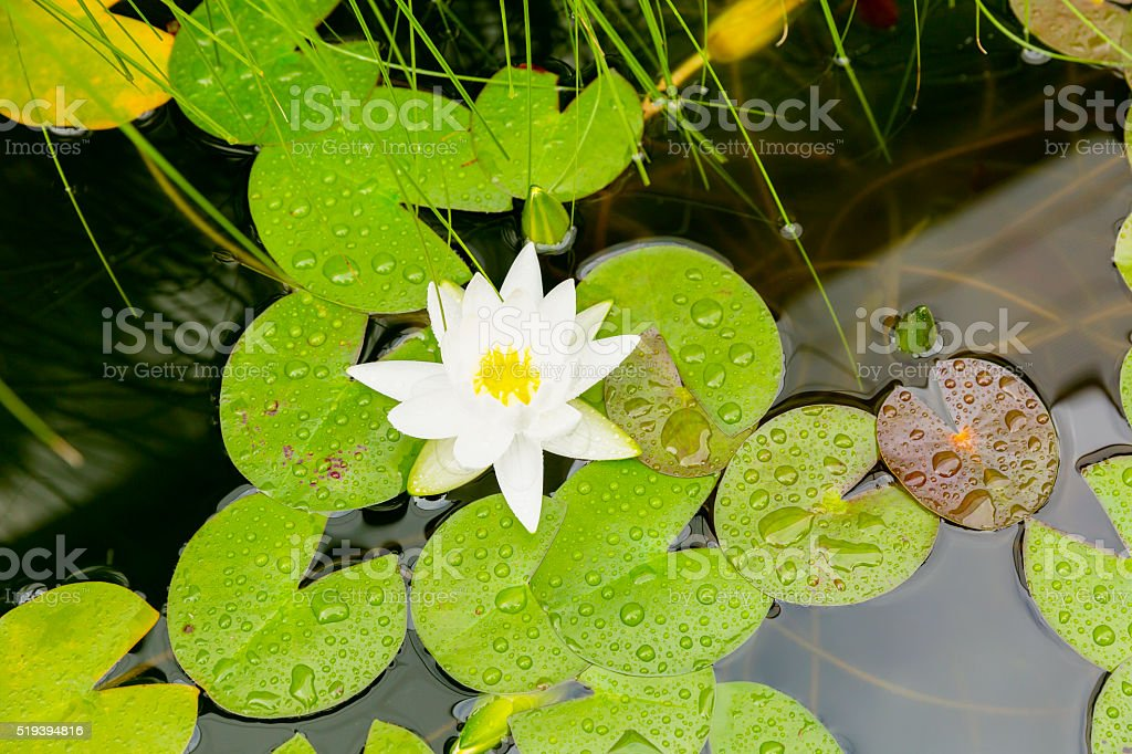 White water lily with rain drops, top view, copy space stock photo