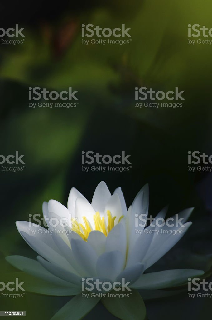 White Water lily with shaft of light royalty-free stock photo