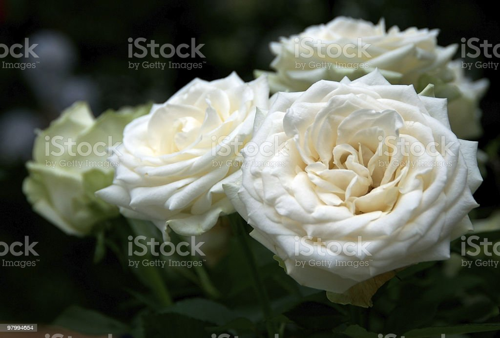 White wedding roses royalty-free stock photo