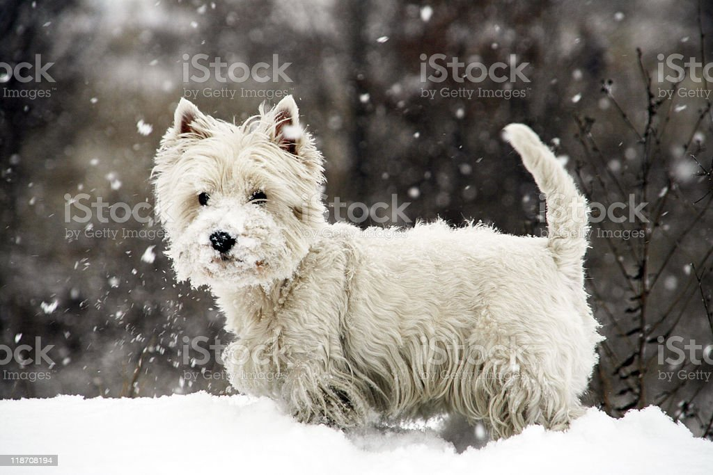 White West Highland Terrier outside in the snow stock photo