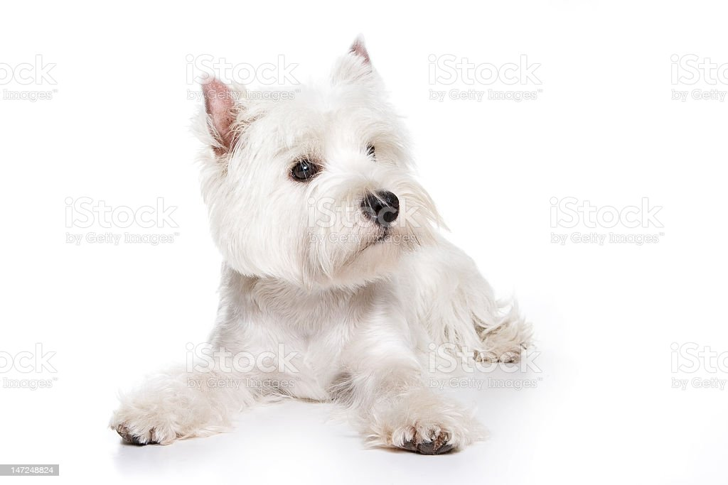 White West Highland terrier puppy lying on a white floor stock photo