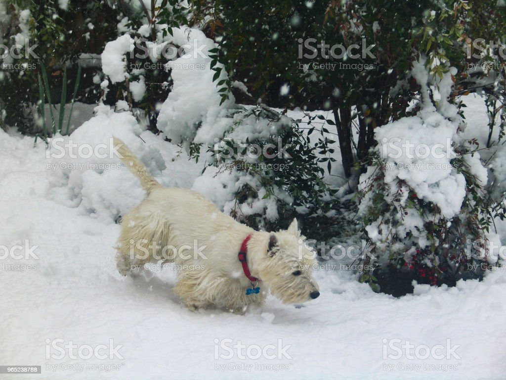 White Westie dog in snow in front of bushes with berries royalty-free stock photo