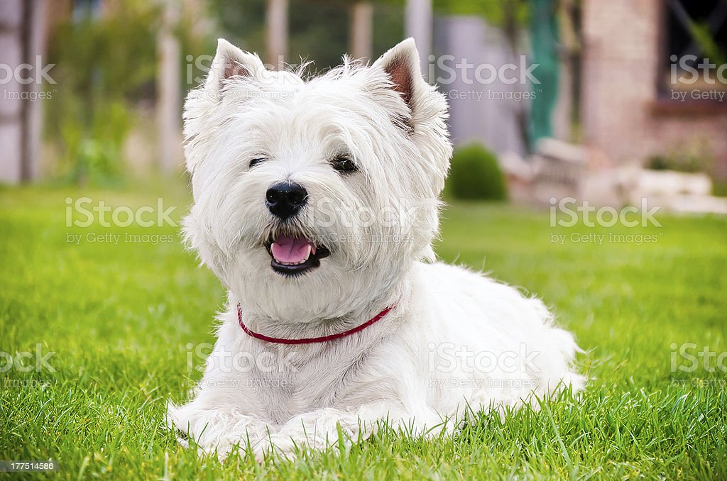 White westie on the green grass wearing a tiny red collar stock photo