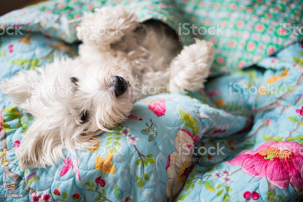 White Westie terrier puppy tucked under blankets sleeping stock photo