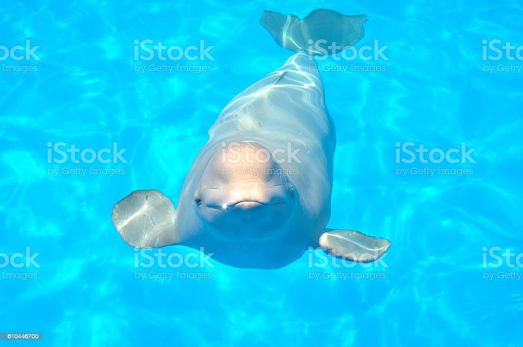 white whale stock photo