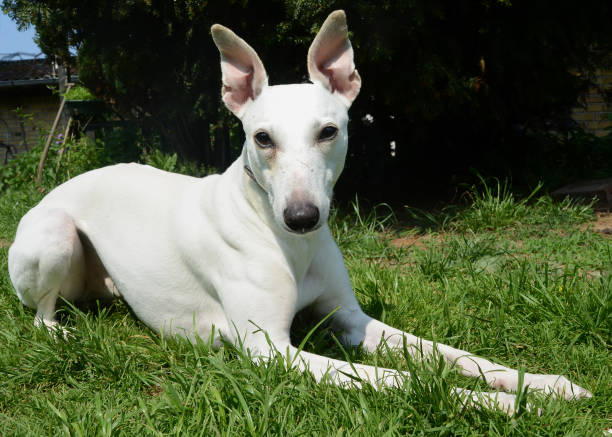 White whippet lying in a garden White Whippet dog on a lawn. whippet stock pictures, royalty-free photos & images