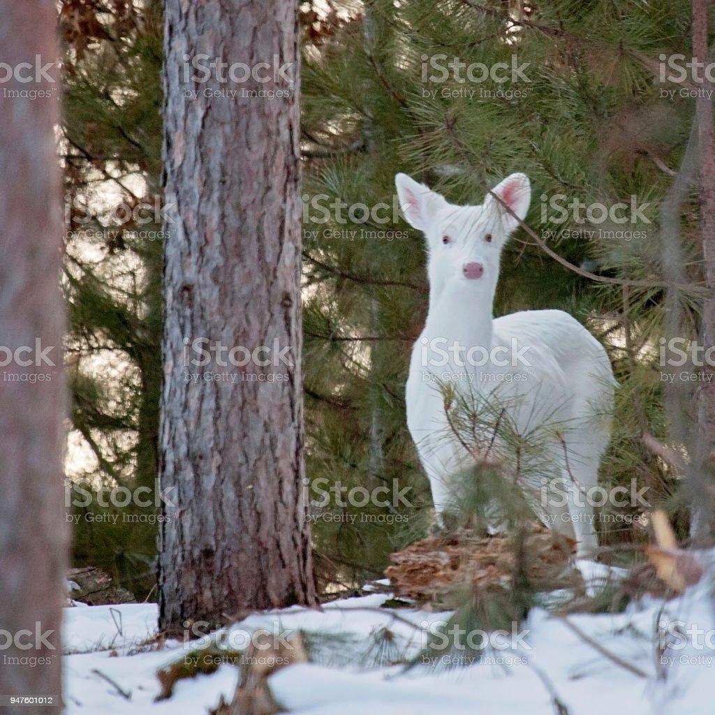 White white-tailed deer stock photo