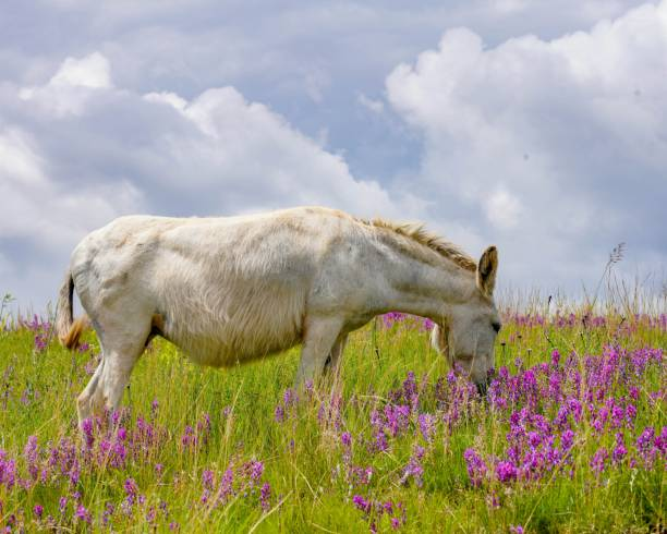 White Wild Burro grazing the tall green grass surrounded by pink wild flowers stock photo