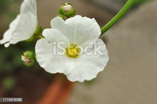 White Wild flower, India