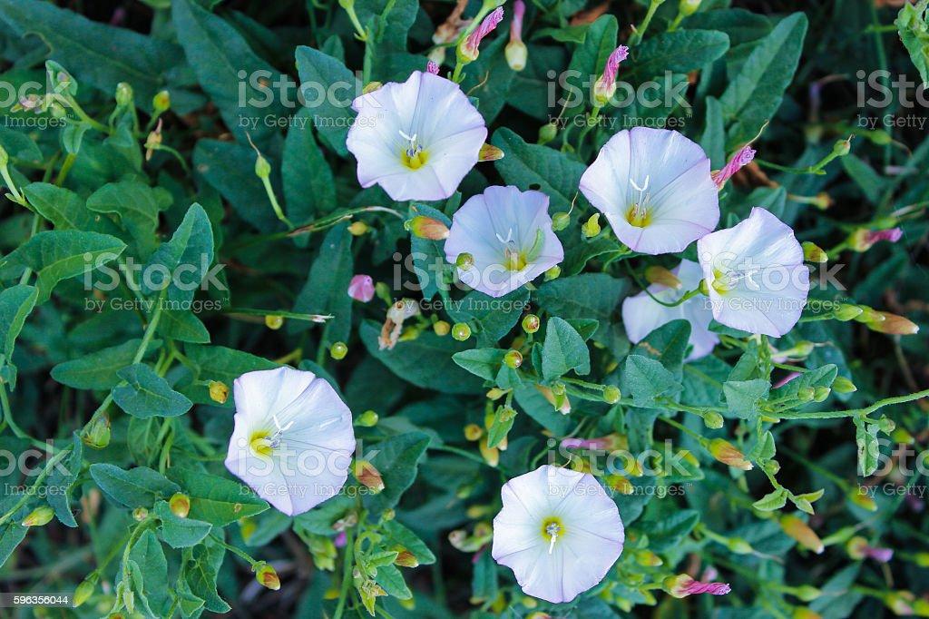 white wild flowers and green foliage royalty-free stock photo