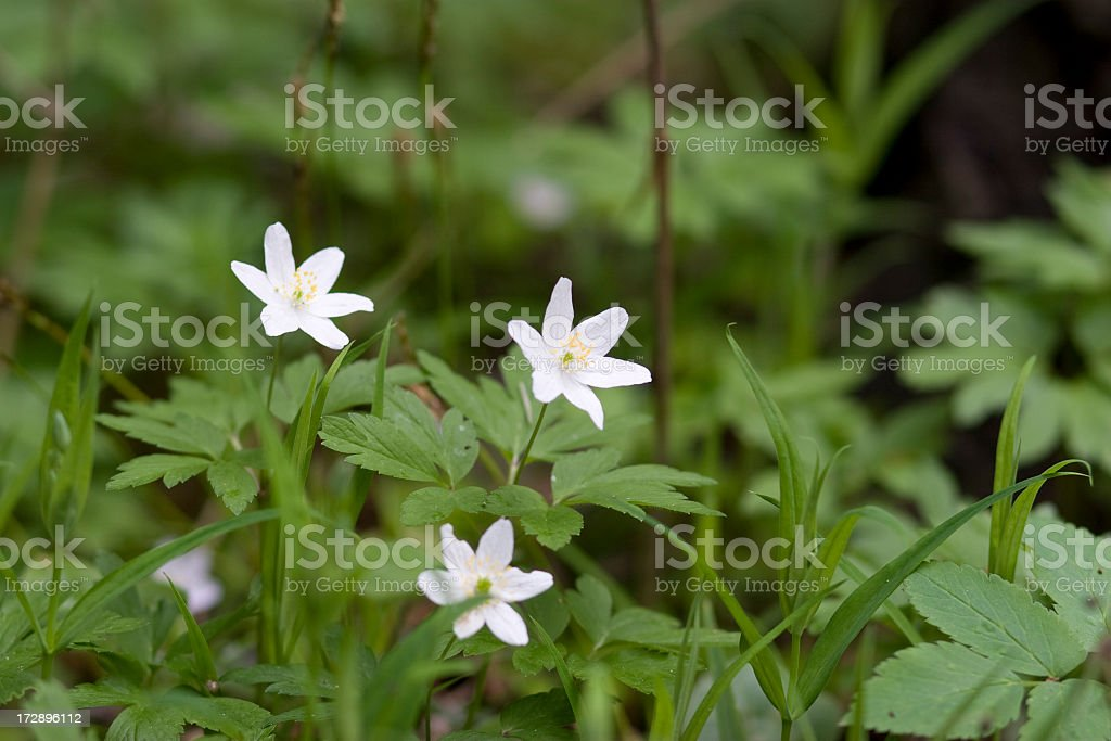 White wild flowers in a grassy green field stock photo