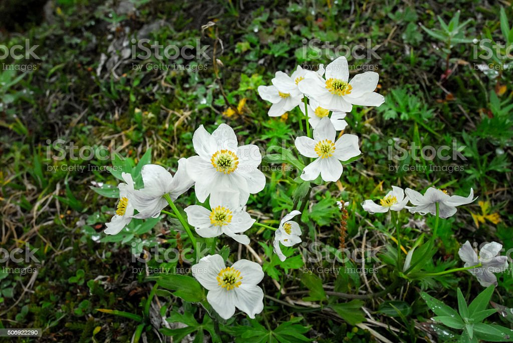 White Wild Flowers On a Mountain stock photo
