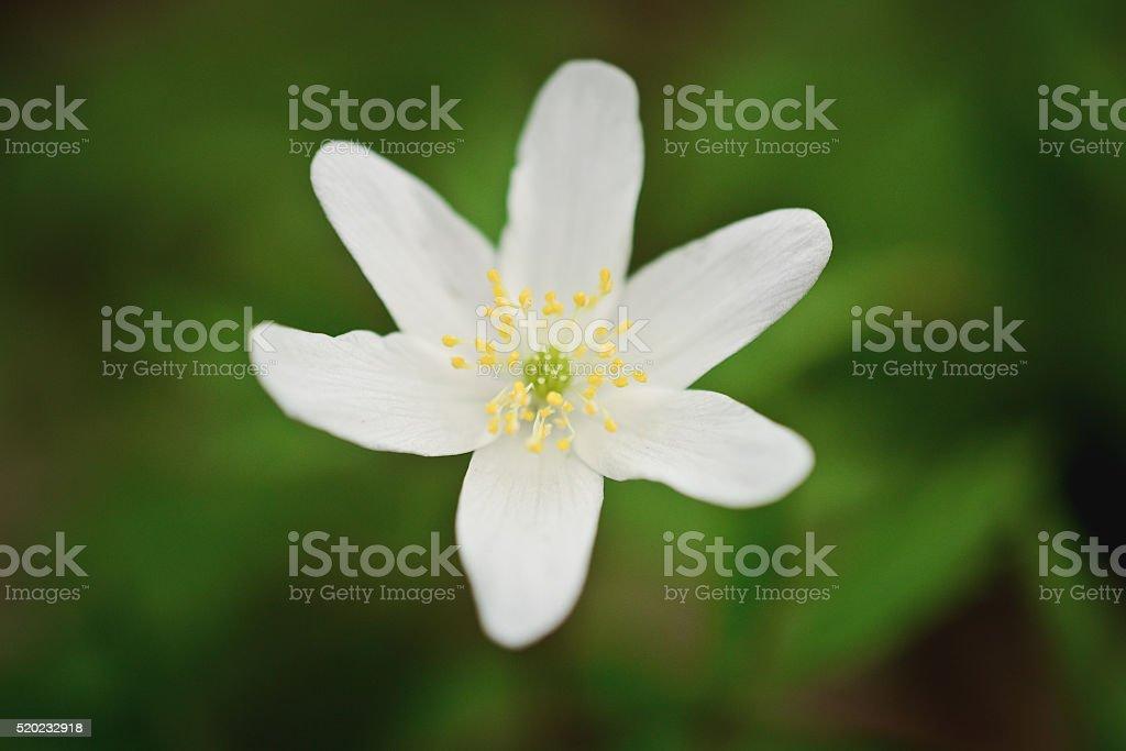 white wild forest flower stock photo