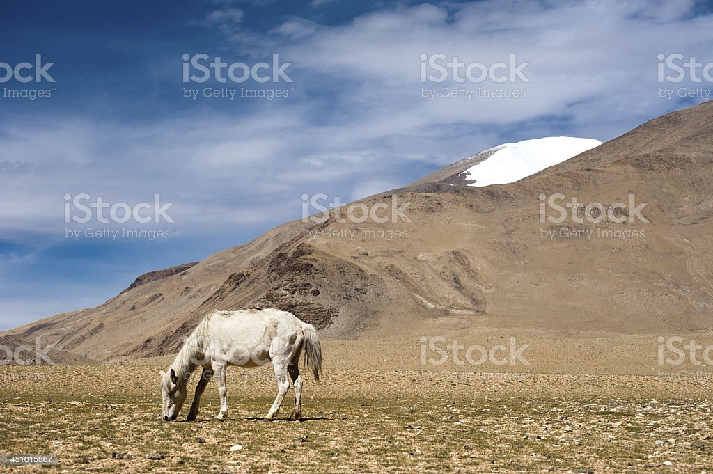 White Wild Horse At Himalaya Mountains India Stock Photo Download Image Now Istock