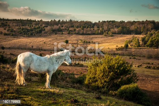 A wild pony grazing in The New Forest in Hampshire, England.