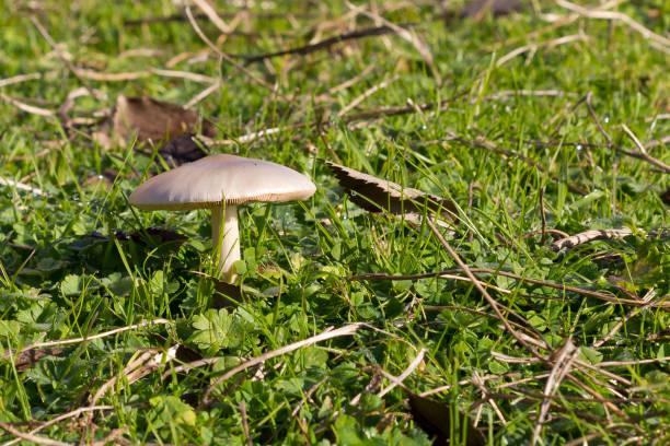 Blanco seta salvaje en la hierba. - foto de stock