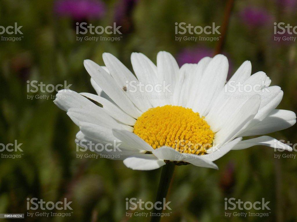 White wildflower royalty-free stock photo