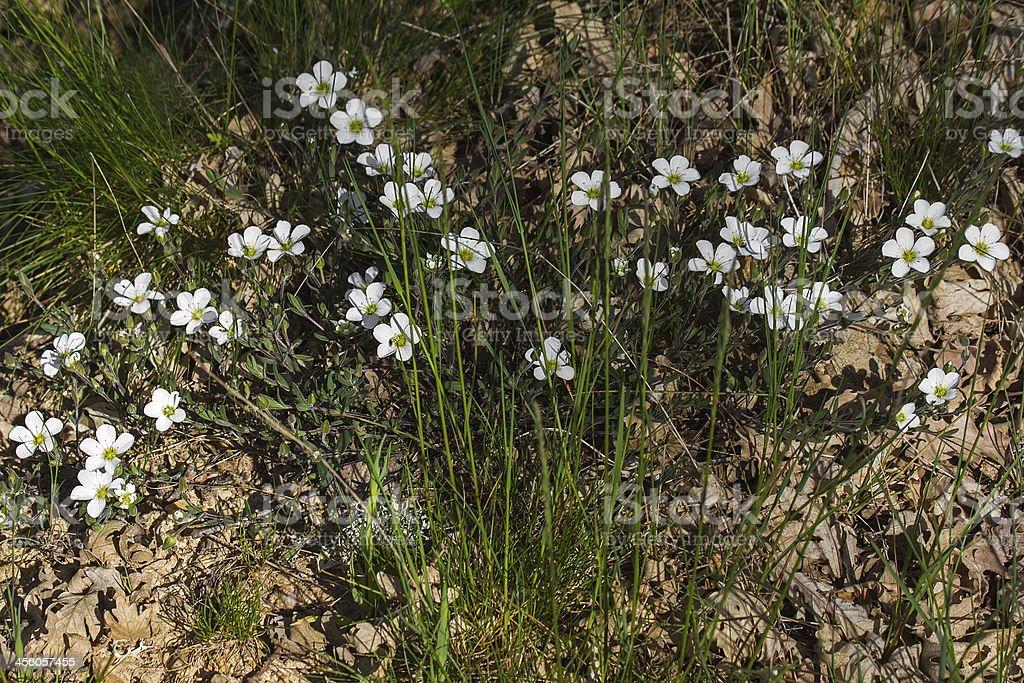 White Wildflowers  - Flores Silvestres Blancas Arenaria royalty-free stock photo