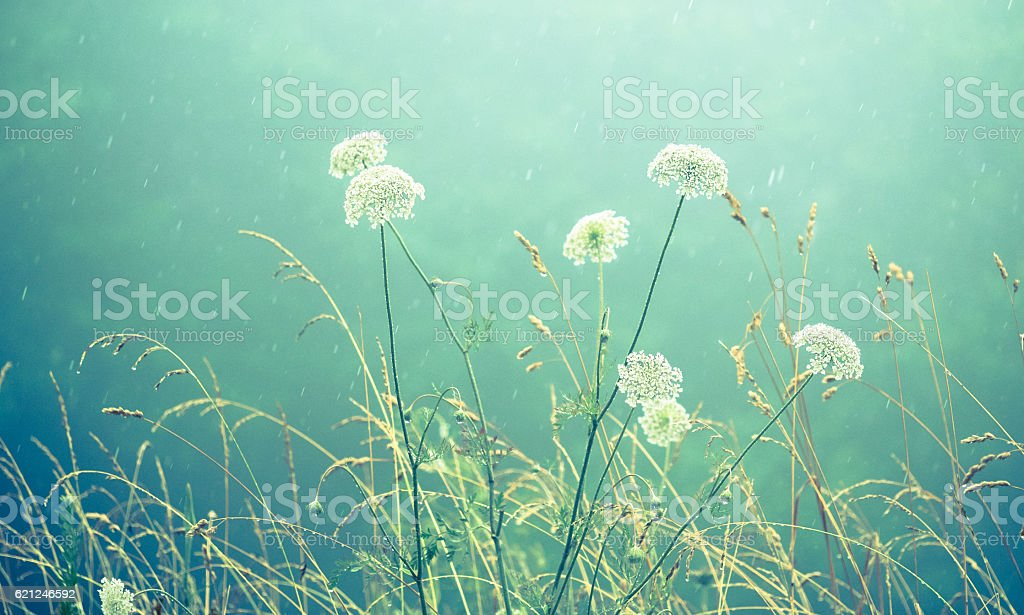 White Wildflowers in a Gentle Rain stock photo