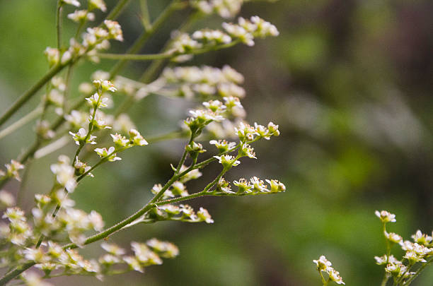 White Wildflowers on the Eagle Creek Trail stock photo