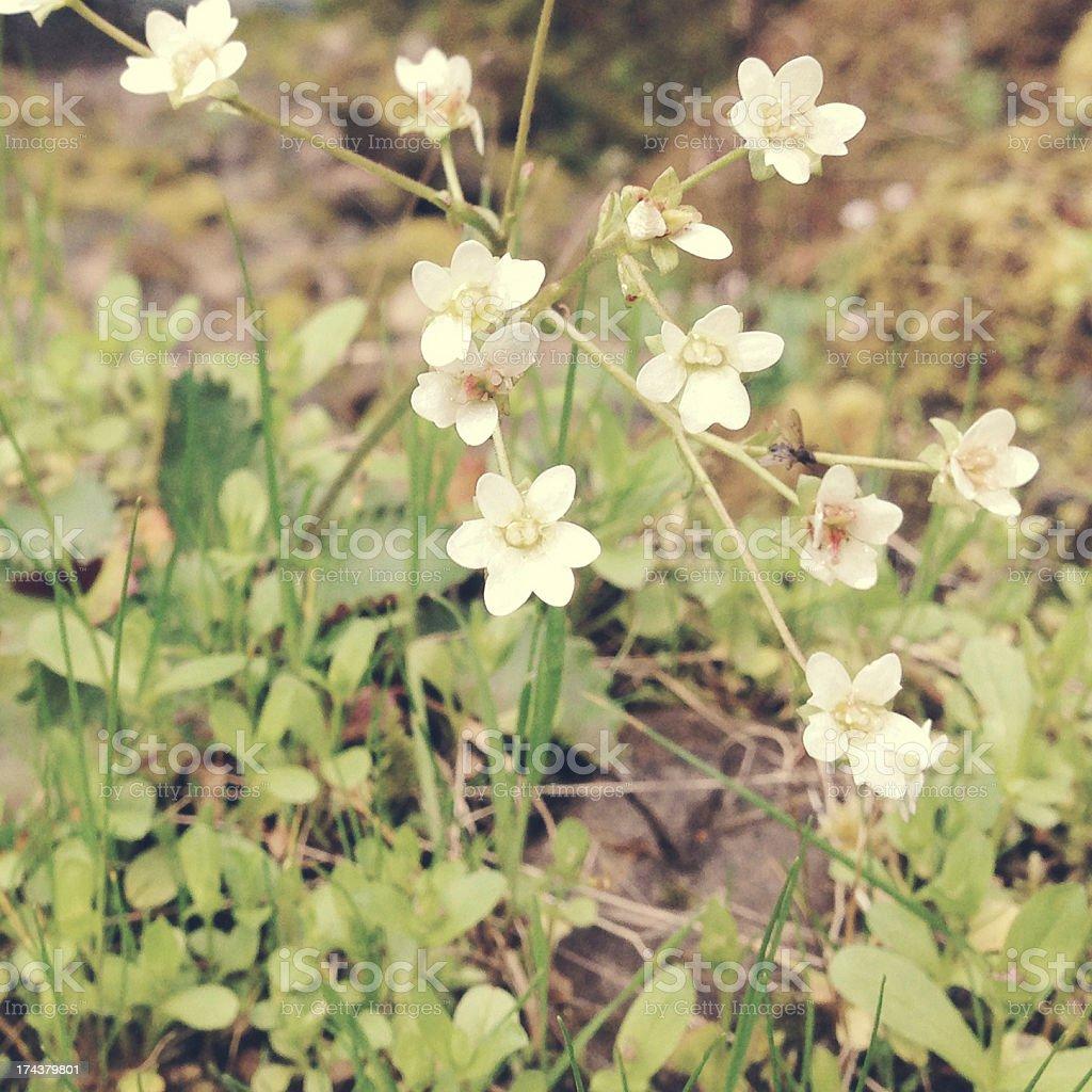White wildflowers royalty-free stock photo