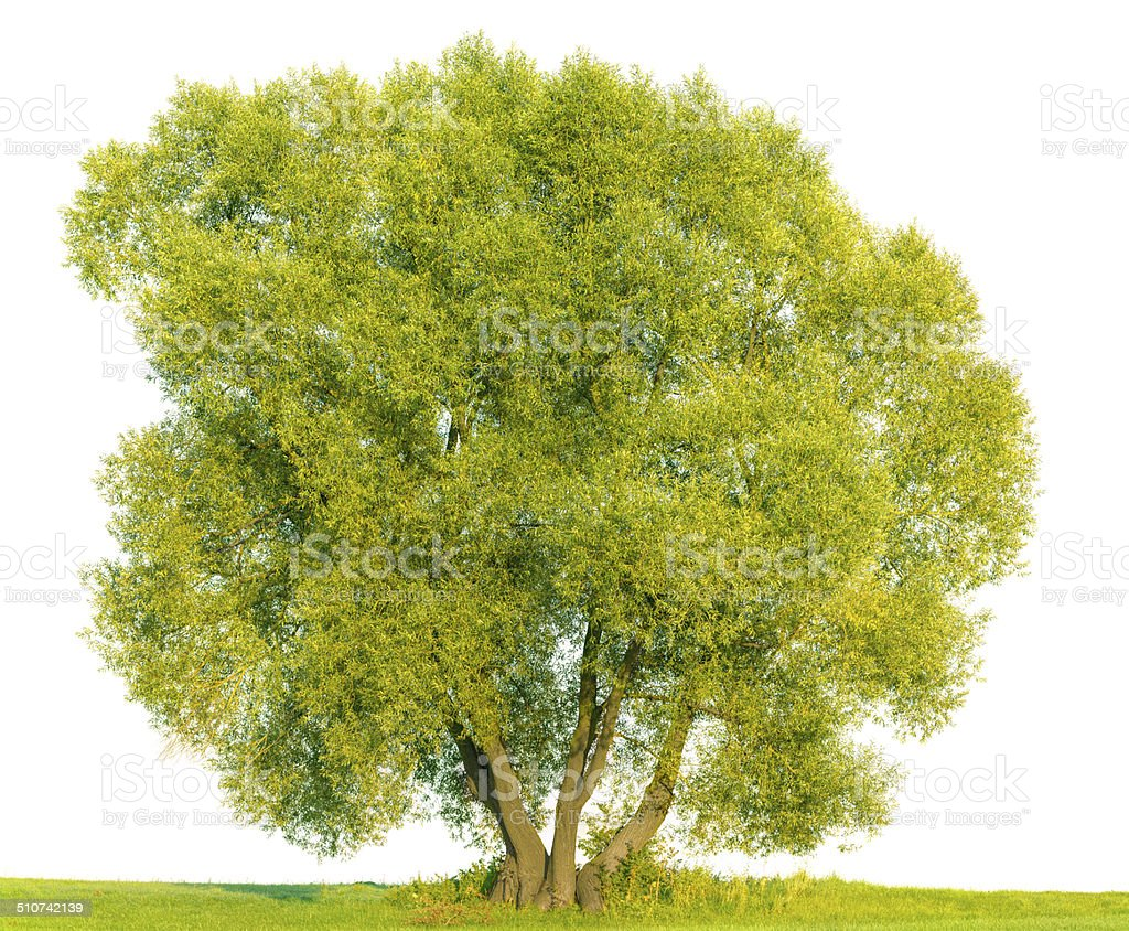 White Willow Tree Isolated Onwhite Stock Photo & More Pictures of ...