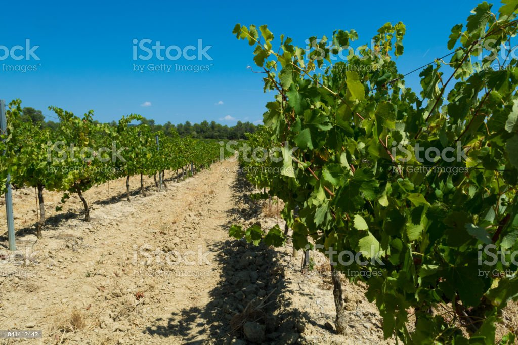 White wine grape riping in the south vineyards Provence stock photo