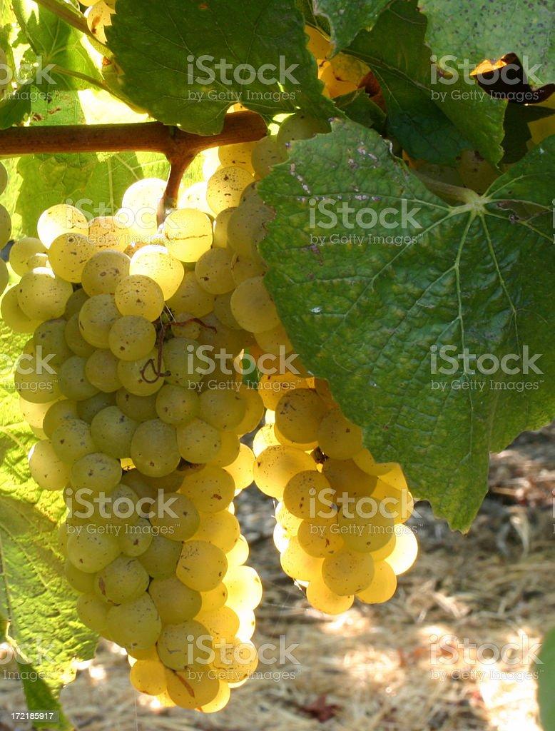 White Wine Grapes 3 royalty-free stock photo