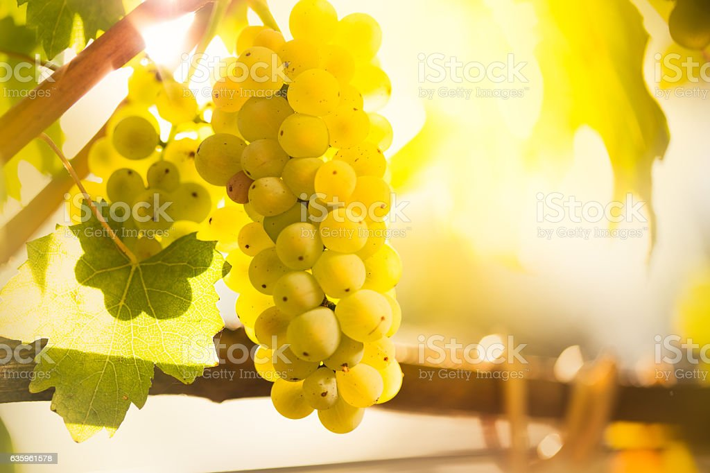 White wine grapes  in a vineyard stock photo