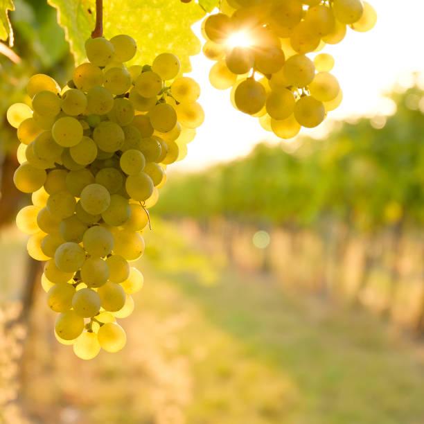 raisins blancs dans la vallée du danube, basse-autriche - raisin photos et images de collection