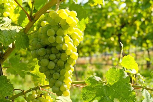 White Wine grapes in the famous Wachau (Spitz), Lower Austria