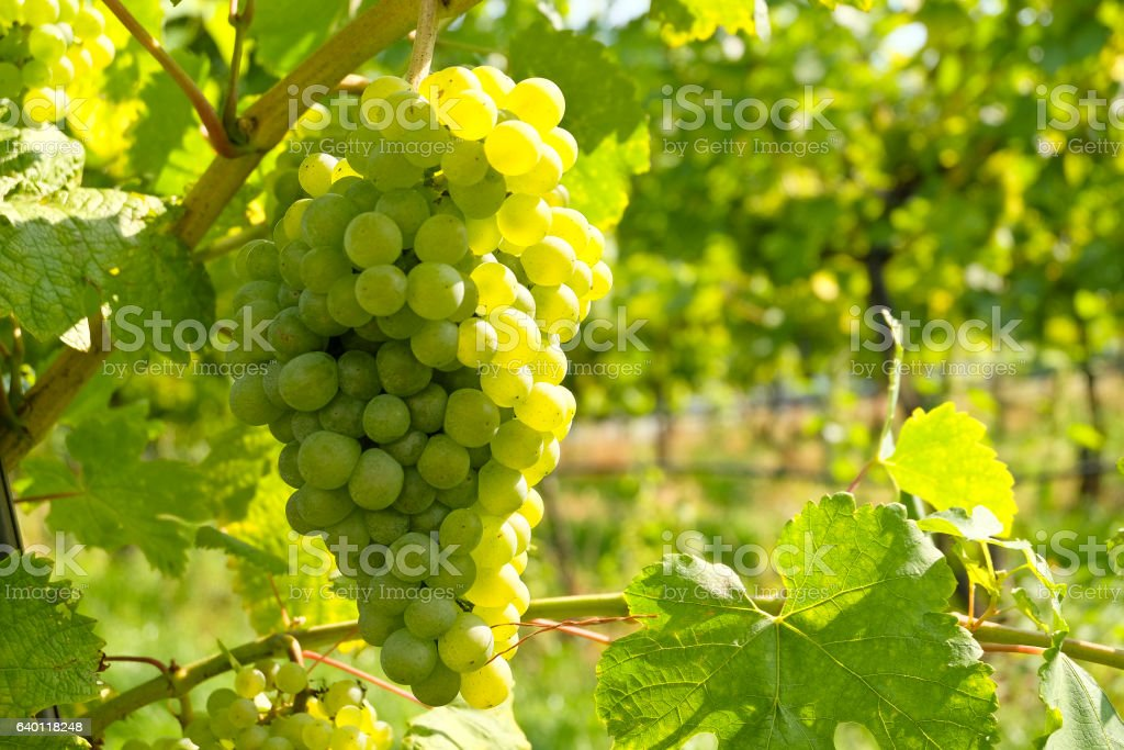White Wine grapes in the famous Wachau (Spitz), Lower Austria – Foto