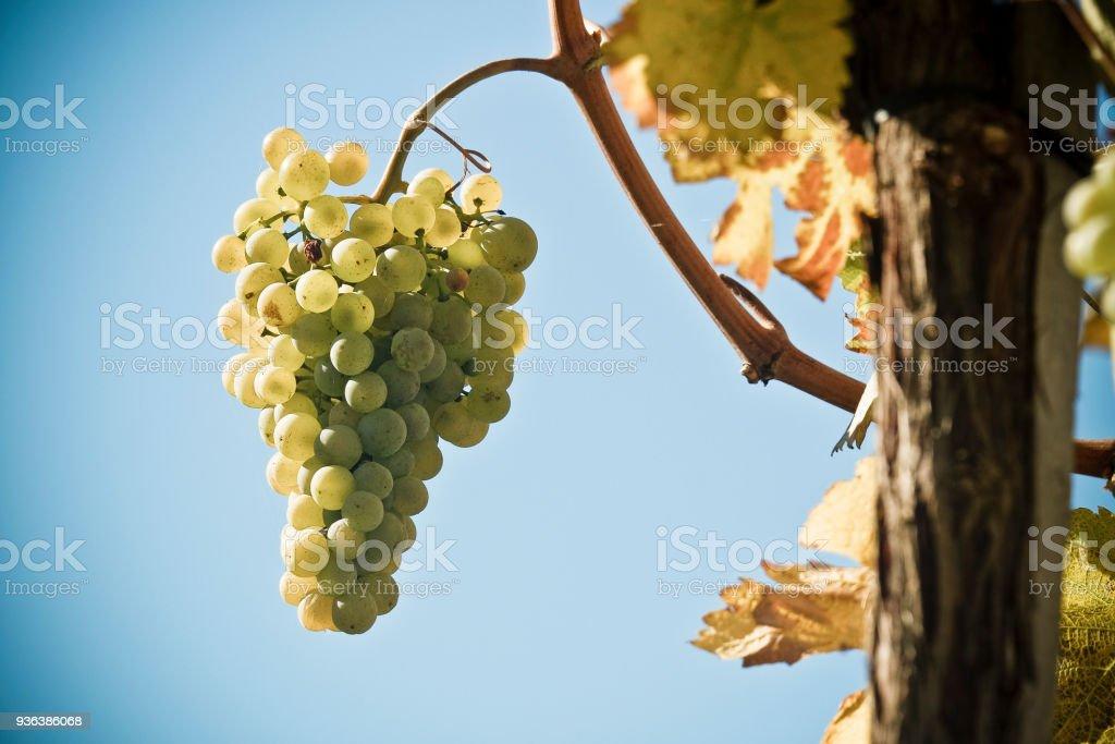 Weißwein-Trauben in der berühmten Wachau (Spitz), Niederösterreich – Foto
