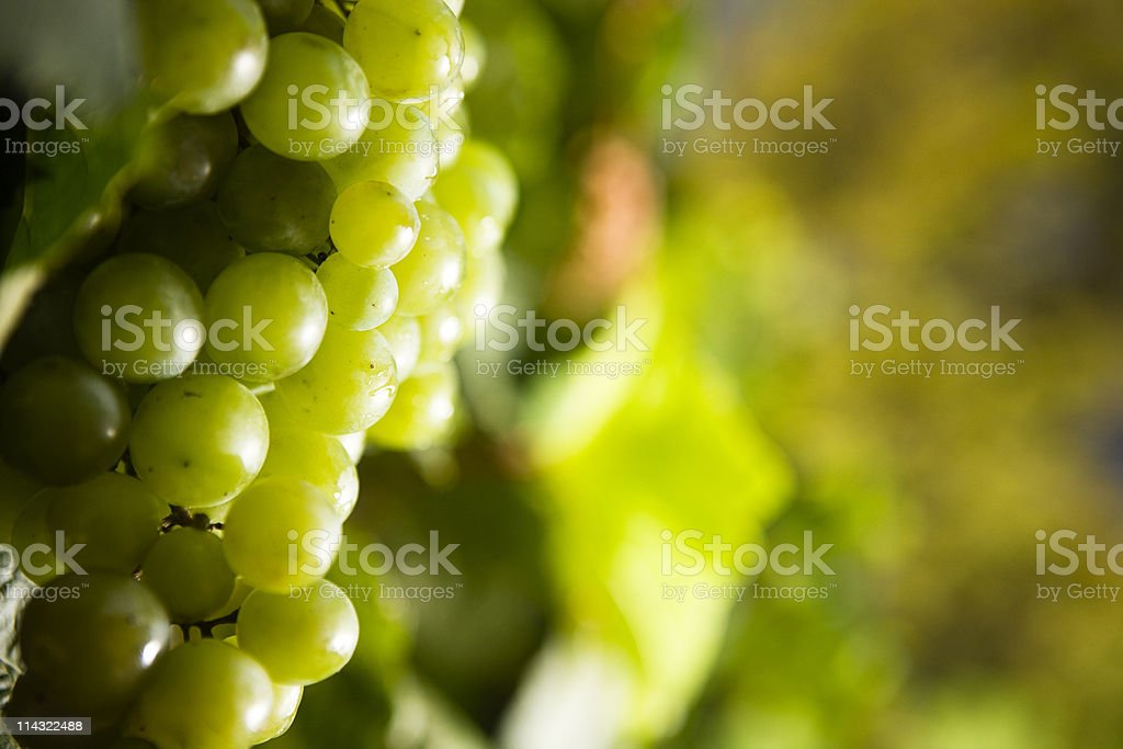 White wine grapes royalty-free stock photo
