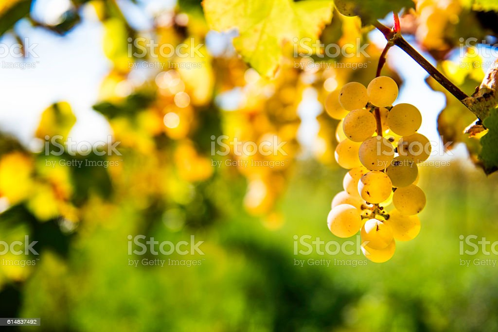 White Wine Grapes stock photo