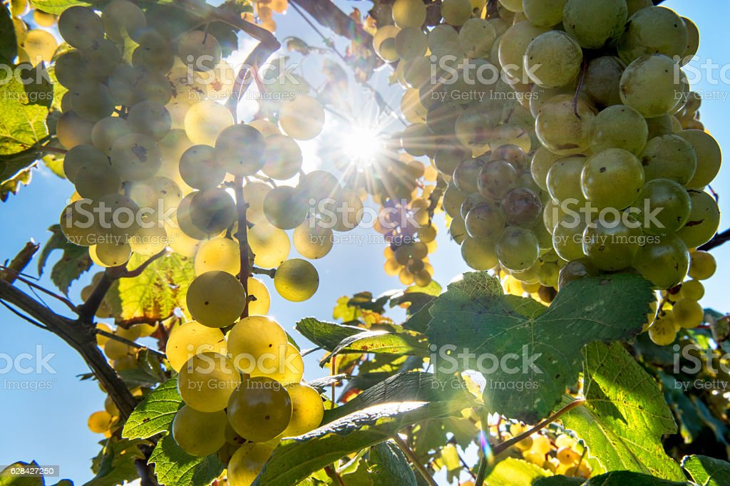 White Wine Grapes stock photo