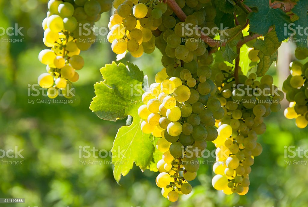 White wine grapes - Wachau royalty-free stock photo
