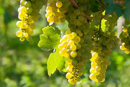 White wine grapes - Wachau