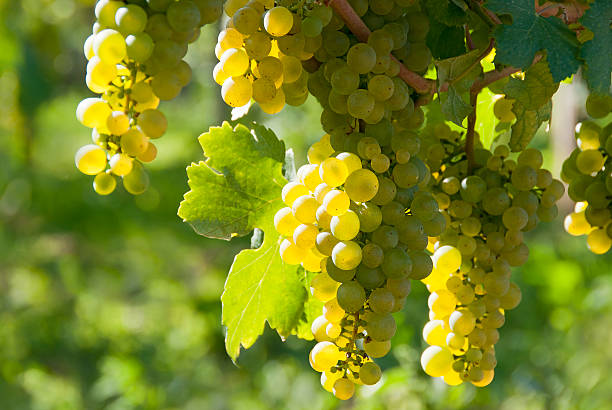 White wine grapes - Wachau stock photo